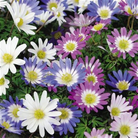 grecian windflowers growing tips buy trees and shrubs online for less