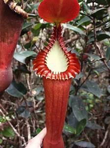 Nepenthes, Holdenii, Una, Planta, Carn, U00edvora, En, Forma, De, Pene