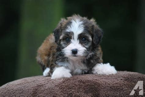 Do Cavachons Shed by Cavachon Puppies 8 Wks Non Shed For Sale In Pine Island