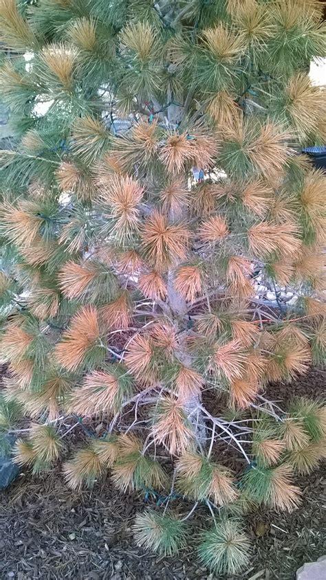 vanderwolf pine tree brown  needles   expert