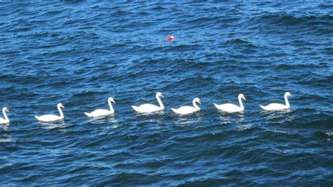 seven swans a swimming recipe dishmaps