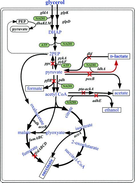 efficient bioconversion  crude glycerol  biodiesel