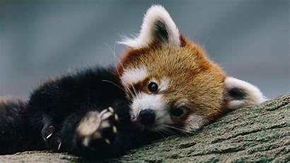 Panda Wallpapers Modern Kb Animals