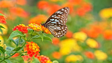 colorful butterfly drinks nectar  stock footage video