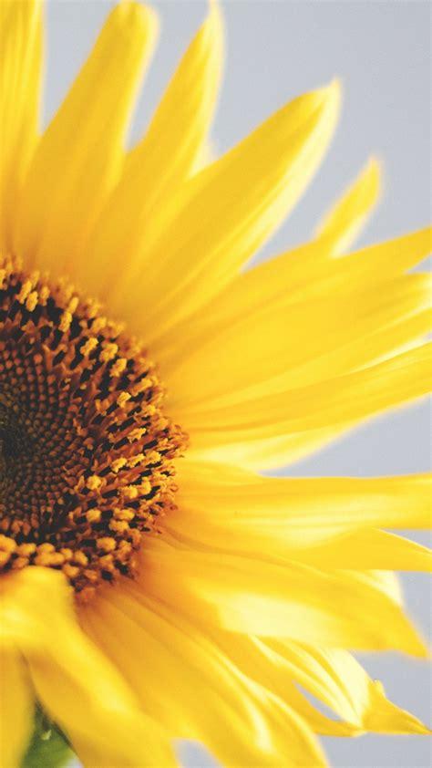 wallpaper sunflower   wallpaper yellow nature