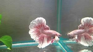 """SOLD: """"Pink Petals"""" Salamander Butterfly DUMBO Halfmoon ..."""
