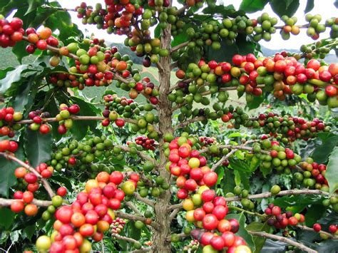 Caffeine, known by its chemical name, trimethylxanthine, is commonly consumed from sources such as coffee, tea, yerba maté, chocolate, as well as many soft drinks and energy drinks. Coffee: Drink of the gods?   The Why Files
