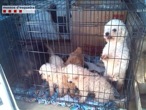 illegal dog breeder cut puppies vocal chords  stop