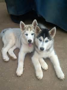 Cute Husky Dogs Puppies