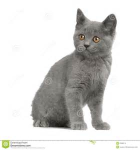 chartreux cat price chartreux kitten stock images image 2328674