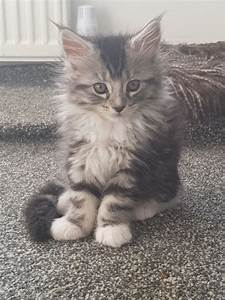 6 Beautiful Pedigree Maine Coon Kittens For Sale