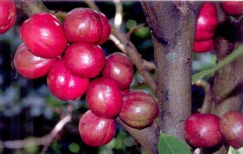 herba tumbuhan khasiat mahkota dewa