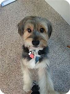 Tyler | Adopted Dog | Thousand Oaks, CA | Havanese/Wheaten ...