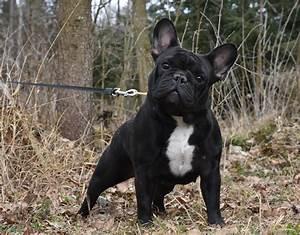 Hundebekleidung Französische Bulldogge : der bully ~ Frokenaadalensverden.com Haus und Dekorationen