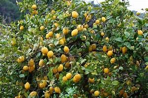 Planter Un Citronnier : citronnier planter et entretenir ooreka ~ Melissatoandfro.com Idées de Décoration