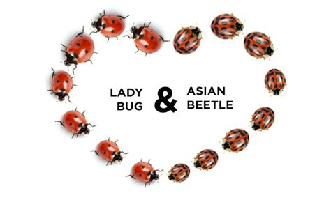 ladybug vs asian beetle how to get rid of ladybugs asian beetles connor s pest control