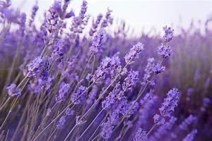 Que Faire Avec Des Fleurs De Lavande : la lavande un parfum d harmonie le mag de flora ~ Dallasstarsshop.com Idées de Décoration