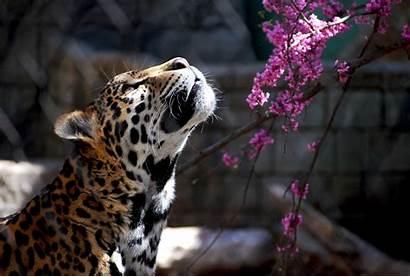 Wildcat Wild Cat Wallpapers Cats Jaguar Wiki