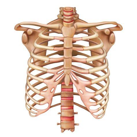 gabbia toracica anatomia sistema scheletrico umano torso illustrazioni vettoriali