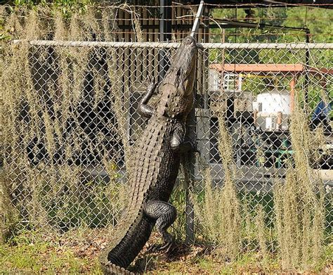 Gator Climbing  Florida  Pinterest  Chain Link Fencing
