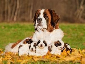 World Largest Dog | www.pixshark.com - Images Galleries ...