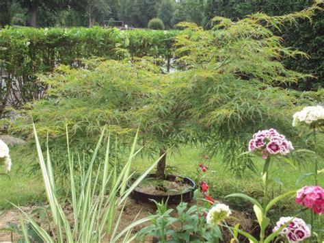 erable japonais en pot erable japonais au jardin forum de jardinage