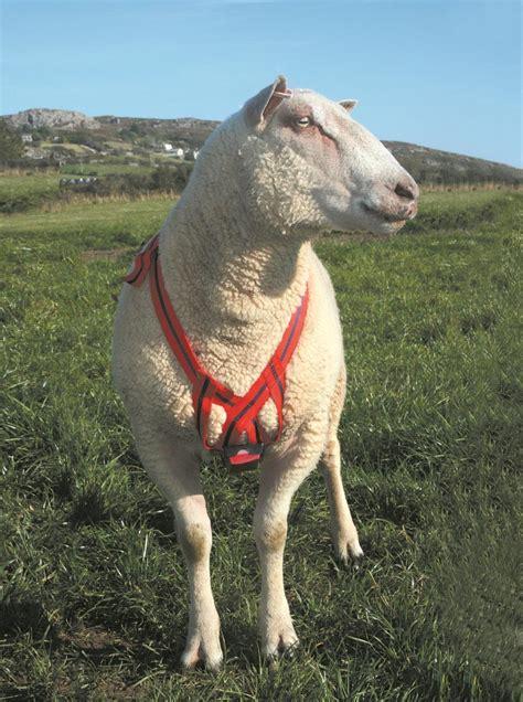sheep  lambing ram mating mark harness