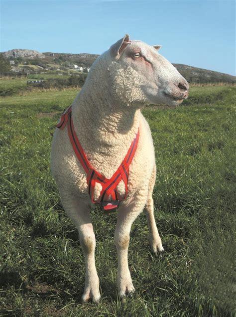 Sheep and Lambing     Ram Mating Mark Harness