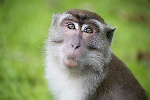 Monkeys Have Physical Ability To Talk  U2013 But Not The Brains