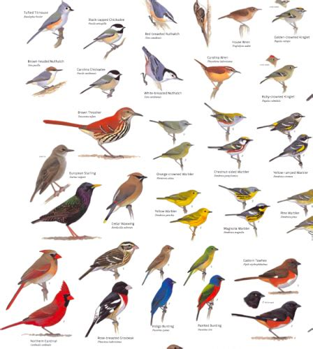 American Backyard Birds by You Seen The Sibley Poster Birdchick