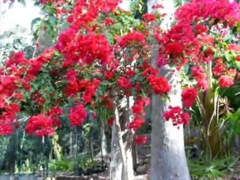 prune  bougainvillea thicket   stunning tree
