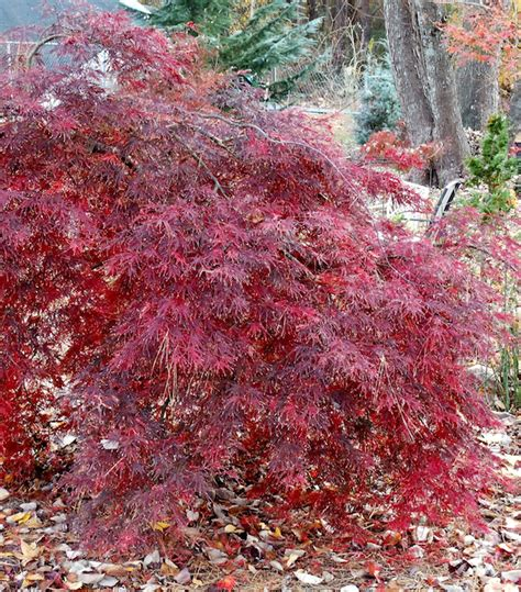 weeping japanese maple varieties japanese maple red weeping shojo shidare 12 quot pot hello hello plants garden supplies