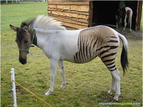 zebra zorse horse mix animals donkey horses zebras hybrid animal pony donkeys zorses wild zoo flickr nature mooi most zebroid