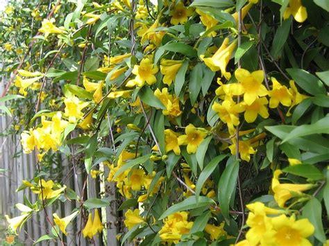 yellow flower vines pictures yellow jasmine carolina jessamine the planting tree