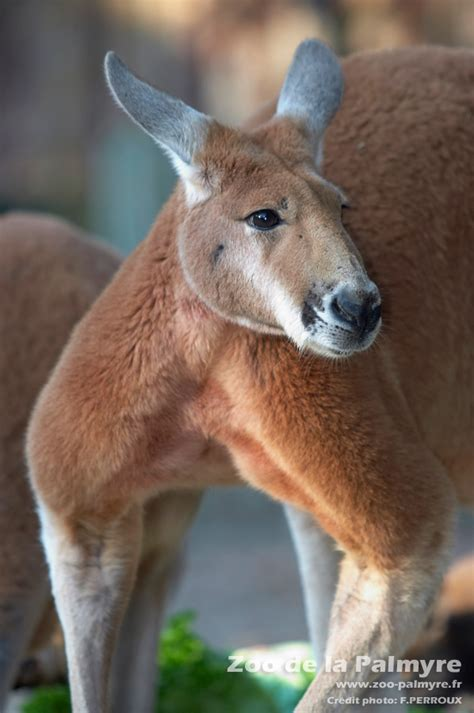 kangourou roux zoo de la palmyre