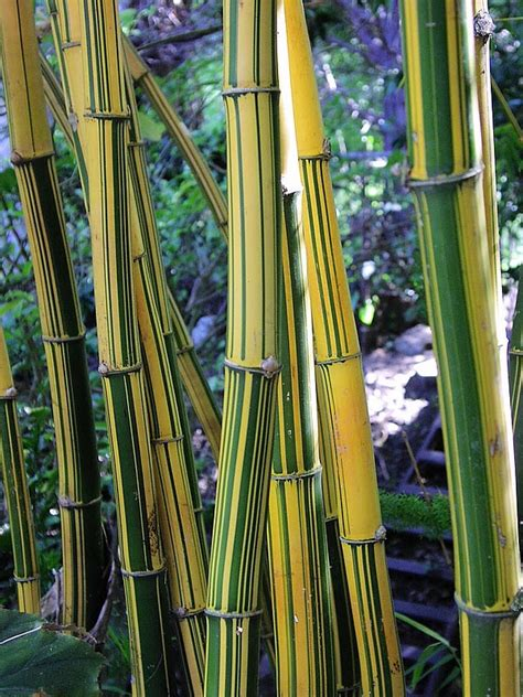 japanese bamboo plant care 115 best bamboo images on pinterest