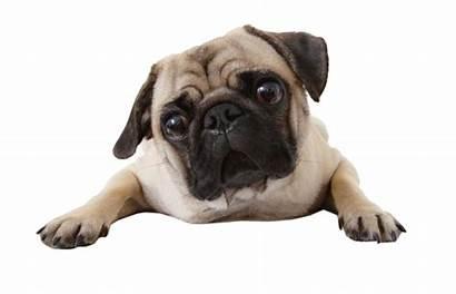 Pug Dog Transparent