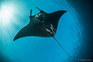 Everything You Need To Know About Diving With Manta Rays