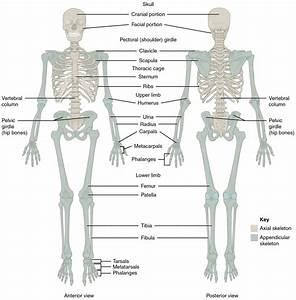 The Skeletal System  U2013 Human Nutrition  Deprecated