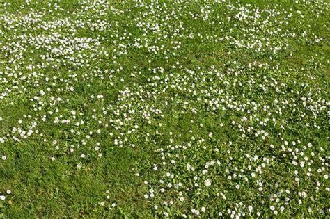 unkraut kleine weiße blüten viele wei 223 e kleine bl 252 ten in draufsicht stockfoto colourbox