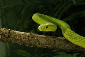 Eastern Green Mamba - Snake Facts