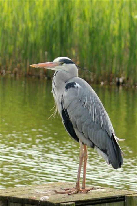 au bureau heron parc photo de hé cendré au parc de bercy à ash heron