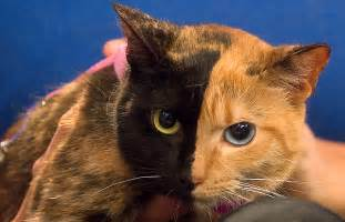 venus the cat venus the two faced cat still a mystery