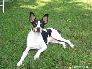 rat terrier wallpaper puppy pictures breed info