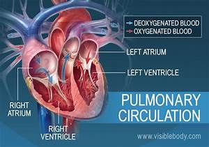 Pulmonary  U0026 Systemic Circulation