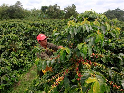 drop climate change  raise coffee prices