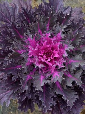 ornamental kale coral queen landcraft environments