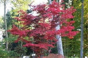 Baum Mit Roten Blättern : fragen an den meister baum mit roten bl ttern ~ Eleganceandgraceweddings.com Haus und Dekorationen