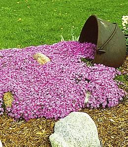 Bodendecker Blaue Blüten : bodendecker kollektion pink und bla phlox flammenblume bei baldur garten ~ Frokenaadalensverden.com Haus und Dekorationen