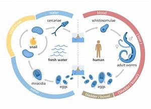 What is schistosomiasis? | Facts | yourgenome.org